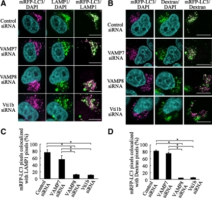 Colocalization of mRFP-LC3 with LAMP1 in VAMP8- and Vti1b-depleted cells. (A) HeLa cells were transfected with siRNA for the control, VAMP7, VAMP8, and Vti1b. At 24 h after transfection, the cells were further transfected with plasmids expressing mRFP-LC3. After 24 h of incubation, the cells were subjected to a starved condition for 180 min, followed by fixation and incubation with anti-LAMP1 antibodies and then observed with a confocal microscope. Cellular DNA was stained with DAPI. Bars, 10 μm. (B) HeLa cells were preloaded with Alexa 488 dextran for marking lysosomes, as described in Materials and Methods. Cellular DNA was stained with DAPI. Bars, 10 μm. (C) The colocalization frequencies of mRFP shown as LAMP1 pixels were determined using LSM Image Browser software (Carl Zeiss) and are presented as the percentage of total number of mRFP pixels. Values are shown as the mean ± SD of >30 images. *p < 0.01 by one-way ANOVA and Scheffé's posttest. (D) The colocalization frequency of mRFP-LC3 shown as Alexa 488 dextran pixels was determined using LSM Image Browser (Carl Zeiss) and presented as the percentage of total number of mRFP pixels. The mean value ± SD of >30 cell images is shown. *p < 0.01 by one-way ANOVA and Scheffé's posttest.
