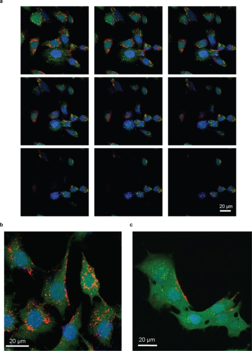 Confocal analysis of BNNT internalization a) and investigation of its mechanism: BNNT uptake b) and its inhibition after treatment with sodium azide c).