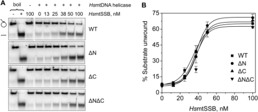 "Stimulation of HsmtDNA helicase by terminal deletion variants of HsmtSSB.DNA unwinding assays were performed as described under ""Materials and Methods"". A, a constant concentration of HsmtDNA helicase (3.5 nM as hexamer) and KCl (50 mM) were used in each assay. The concentration of HsmtSSBs (as tetramer) that was used is indicated above each lane. ""−"" and ""+ boil"" lanes represent the intact and denatured substrate (heated to 100°C for 2 min prior to loading), respectively. B, analysis of the data shown in A together with the data from two other independent experiments. The data represent the average of unwound substrate as percent."