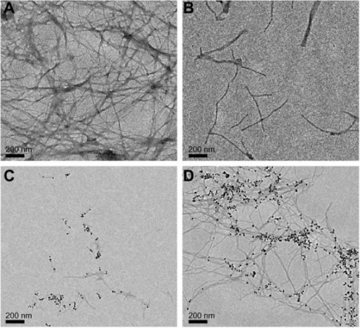 TEM images of the Aβ40 in the absence (A) and presence (B) of free BAM10 at a concentration five times higher than the conjugated BAM10 (B) 120 hours after initiation of the fibrillation process or in the presence of 50% (w/wAβ40) of the BAM10-conjugated nanoparticles dispersed in PBS, 384 (C) and 450 (D) hours after initiation of the fibrillation process.Abbreviations: TEM, transmission electron microscopy; Aβ40, amyloid-β 40; PBS, phosphate-buffered saline.