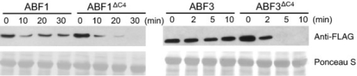 The deletion of nine C–terminal amino acids in the C4 domain destabilizes ABF1 and ABF3. Bacterially expressed recombinant His-Flag-ABF1 or His-Flag-ABF3 was incubated with 7–day-old Col seedling protein extract over the indicated time course. His-Flag-tagged protein levels were visualized by anti-Flag immunoblotting. Ponceau S staining was used as the loading control.