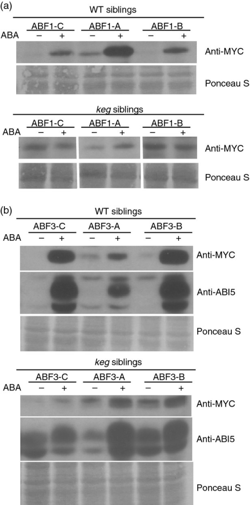 ABF1 and ABF3 protein levels are affected by ABA in the wild type (WT) but not in keg seedlings. Seedlings from independent transgenic lines in the +/keg background expressing Myc-ABF1 (a) or Myc-ABF3 (b) were grown under constant light for 14 days and treated with ABA, or ethanol as a mock treatment, for 6 h. Proteins were extracted and the results were visualized by anti-Myc or anti-ABI5 immunoblotting (b). Ponceau S staining was used as the loading control.