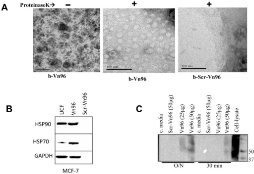 Characterization of extracellular materials precipitated by Vn96.A. Vn96 peptides precipitate vesicular structures from conditioned cell culture media. The biotinylated-Vn96 (b-Vn96) precipitated materials from conditioned cell culture media previously incubated with the MDA-MB-231 breast cancer cell line were subjected to Proteinase K digestion. The transmission electron microscopy analysis were performed on the precipitated material from the b-Vn96 sample (left panel), proteinase K-digested b-Vn96 sample (middle panel), and the proteinase K-digested sample from b-Scr-Vn96 (right panel). The scale bars are 100 nm. B. Identification of exosome markers in the Vn96-purified EVs from conditioned cell culture media. 50 µg each of Vn96 peptide and Scr-Vn96 were incubated with 1 ml of conditioned cell culture media previously incubated with the breast cancer cell line MCF-7 at 4°C for overnight. Exosomes were also isolated from the same conditioned cell culture media by ultracentrifugation (UCF). The presence of HSP70, HSP90 and GAPDH were assessed by immunoblotting. C. CD63 immunoblot. 1 ml of pre-cleared MCF-7 conditioned cell culture media was incubated to precipitate EVs with indicated amount of peptides either overnight (O/N) at 4°C or 30 minutes at room temperature. Total cell lysate of MCF-7 (equivalent to 0.2×106 cells) was used as a positive control and conditioned cell culture media alone (c. media) was used as negative control. SDS-PAGE was performed in non-reducing conditions for CD63 immunoblots as recommended by the supplier.