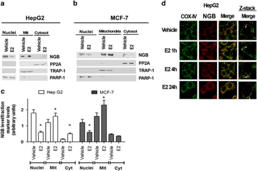 Effect of E2 on the localization of NGB in HepG2 and MCF-7 cells. Western blot of NGB level in nuclear (Nuclei), cytosolic (Cyt), and mitochondrial (Mit) fractions of (a) HepG2 and (b) MCF-7 cells and related densitometric analyses (c). The purity of fractions was assessed with PARP-1, TRAP1, and PP2A with respect to nucleus, mitochondria, and cytosol, respectively. The amount of proteins was normalized to each fraction marker protein. The figure represents a typical western blot of three independent experiments. Data reported in panel c represent the mean±S.D. of three different experiments. Significant differences (P<0.001) were determined by ANOVA followed by the Turkey–Kramer post-test with respect to unstimulated samples (*). (d) Confocal microscopy analysis of NGB and COX-4 co-immuno-localization. Cells were fixed, permeabilized, and stained with anti-NGB antibody (red) and co-stained with anti-COX4 antibody (green) (original magnification × 63). Merged images by confocal microscopy show NGB distribution in HepG2 cells treated with either vehicle or E2 (10 nM) for 1, 4, and 24 h. White arrows point to examples of NGB and COX-4 co-staining in a single Z-stack plane. Representative images from three different experiments are shown