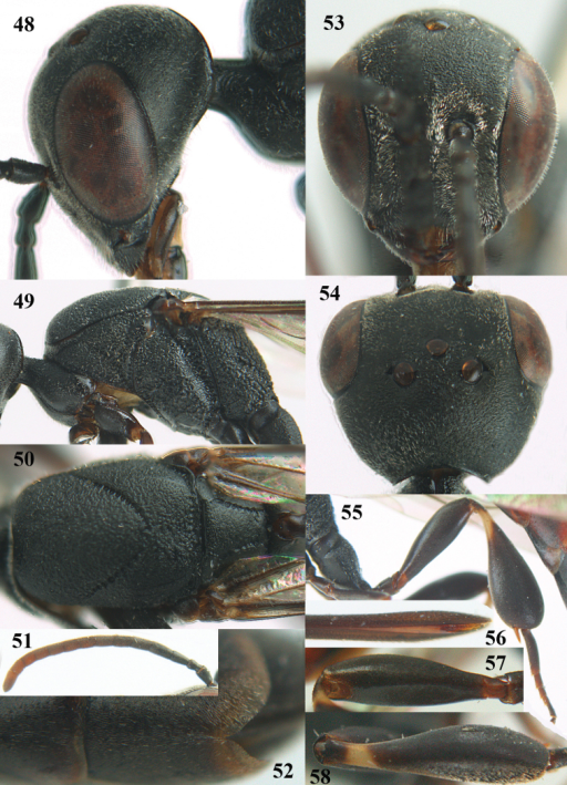 Gasteruptionbrevibasale sp. n., female, holotype. 48 head lateral 49 mesosoma lateral 50 mesonotum dorsal 51 antenna 52 hypopygium ventral 53 head anterior 54 head dorsal 55 hind leg 56 apex of ovipositor sheath 57 hind femur latero-ventral 58 hind tibia dorsal.