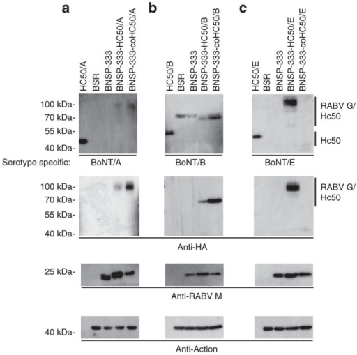 Recombinant HC50/RABV-G expression analyses on BSR cells. BSR cells were infected at an multiplicity of infection of 10 for 48 hours with the viruses indicated and probed with (a) anti-HC50/A1 (NR-9353), (b) anti-HC50/B1 (NR-9354), or (c) anti-BoNT/E1 (NR-17613). Duplicate blots were also probed with anti-HA-tag monoclonal antibody to detect recombinant HC50/RABV-G proteins; as infection and loading controls, blots were also probed with anti-RABV-M and anti-β-actin.