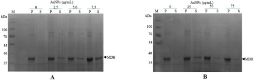 Citrate-coated gold nanoparticles suppress malate dehydrogenase aggregation in a concentration dependent manner.(A) 1 μM MDH was suspended in assay buffer in the absence or presence of various levels of AuNPs (2.5–7.5 μgmL-1). (B) The assay was repeated in the presence of 10 fold higher levels of AuNPs (25–75 μgmL-1). The suspensions were subjected to heat stress at 48°C for 20 minutes. The soluble fraction (S) was separated from pellet fraction (P) by centrifugation. Samples were analysed by SDS-PAGE analysis.