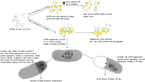Proposed model illustrating the effects of citrate-coated gold nanoparticles in vitro and in E. coli cells.The model describes the proposed effects of single species versus agglomerated species of citrate-gold nanoparticles on the integrity of proteins in vitro and in E. coli cells that are deficient of DnaK and in which DnaK function is restored.