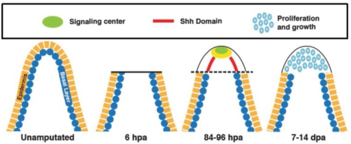 Sequence of regenerative events and HH signaling. Longitudinal section of an unamputated and regenerating fin ray showing the basal layer (blue) and outer epidermis (yellow). Epidermal cells cover the wound and mesenchymal cells from the stump proliferate and migrate distally to form the blastema. HH signaling is induced in the lateral basal epidermal layer and a signaling center (green) in the apical region (yellow) that includes: FGF, WNT and BMP signaling leads to the induction of cellular proliferation (blue) and regeneration. Note the key is in the upper panel.