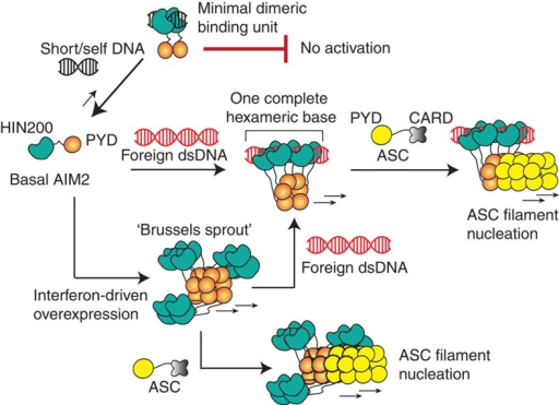 A model for the assembly of the AIM2 inflammasome.AIM2PYD is not auto-regulated. Depending on its cellular concentration, auto-assembly or dsDNA-mediated assembly will drive the initial filament formation. Importantly, basal AIM2 requires large dsDNA to generate energetically stable nucleoprotein complexes, because oligomerization is integral to dsDNA binding. The oligomerization of AIM2Hin is important for auto- or dsDNA-mediated filament assembly, but the construction of the filamentous architecture is dictated by AIM2PYD. The resulting AIM2 filaments then nucleate the assembly of the ASC filaments via corresponding helical architecture (ASCCARD is not shown in the filament for simplicity).