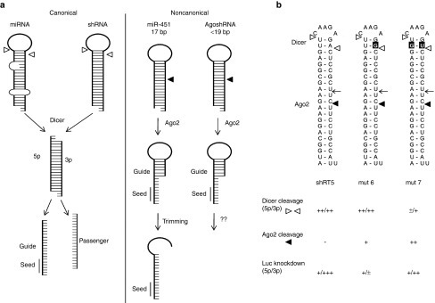 Canonical and noncanonical miRNA/shRNA processing. (a) Left panel: Dicer-dependent (canonical) processing is shown for miRNA and shRNA. Dicer cleavage (◅) yields 5' (5p) and 3' (3p) strands, the guide is loaded in RNA-induced silencing complex-Ago2 (black line with seed), the passenger is degraded (grey strand). Right panel: The Dicer-independent (non-canonical) miR-451 and AgoshRNA are processed by Ago2 (◄) to yield a single guide that is partially basepaired. Subsequent trimming of the 3' end opens miR-451. For AgoshRNAs, no such trimming has been described. (b) The wild-type shRT5 and two G-U mutants (mutations boxed in black) were studied by deep sequencing. Indicated are the predicted cleavage sites for Dicer and Ago2, but also the observed Ago2 cleavage site (←). Some key activities as measured previously are summarized below: Dicer and Ago2 products as scored on northern blot (see Figure 7 in reference 28) and their activity on Luc-reporter assays (see Figure 6 Luc 5p: antisense; Luc 3p: sense in reference 28).