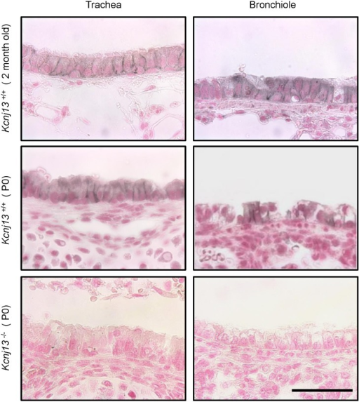 Basolateral expression of Kir7.1 channel in the epithelium of the airways.Immunohistochemical detection of Kir7.1 channel in trachea (left) and bronchiole (right) in adult Kcnj13+/+, newborn Kcnj13+/+ or newborn Kcnj13-/- mice. Tissue sections were treated with anti-Kir7.1 antibody (1:15,000). Kir7.1 expression was restricted to the basolateral membrane of airway epithelium in adult and newborn Kcnj13+/+ mice. Staining in Kcnj13-/- tissues shows complete absence of specific immunoreactive signal. Nuclei were counterstained with Fast Red. Scale bar represents 50 μm.