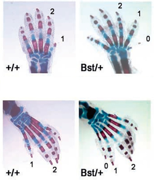 Duplicated digits and phalanges in mice heterozygous for Rpl24. Skeletal stain of newborn forelimbs (upper) and hindlimbs (lower). Mice heterozygous for a mutation in Rpl24 (Bst/+ phenotype) show preaxial polydactyly (0) and triphalangy of the first digit (1). Figure reproduced with permission (Oliver et al., 2004).