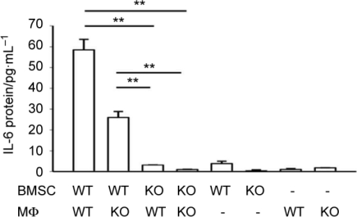 BMSCs were the main contributing cells for IL-6 protein production from juxtacrine interaction. ELISA assay showed that after 24 hours, IL-6 protein was significantly increased in the supernatant from co-culture of WT BMSCs and WT macrophages, and co-culture of WT BMSCs and IL-6 KO macrophages. No elevation of IL-6 protein concentration was found in the co-cultures of IL-6 KO BMSCs and either WT macrophages or IL-6 KO macrophages. Data are mean ± SEM (n = 2 in each group); **P < 0.01.