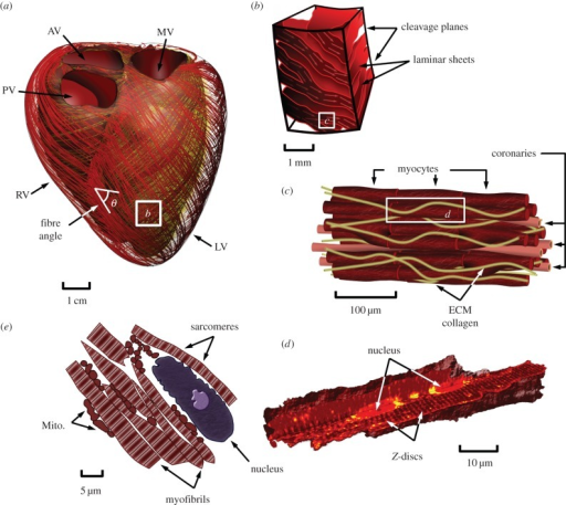 Illustrative representation of multiscale cardiac anatomy. (a) Geometric representation of the biventricular anatomy of the heart with streamlines illustrating its fibre architecture, (b) tissue block illustrating the laminar structure of the heart comprising fibre bundles arranged into sheets separated by cleavage planes, (c) local structural arrangement of myocytes and coronary capillaries, (d) 3D view of the cardiomyocyte cut to view internal structures (data courtesy of Dr Rajagopal and Dr Soeller [1,2]), (e) anatomy of the cell illustrating nucleus, myofibres (comprising crossbridges) and mitochondria. RV, right ventricle; LV, left ventricle; PV, pulmonary valve; AV, aortic valve; MV, mitral valve; ECM, extracellular matrix; Mito., mitochondria.
