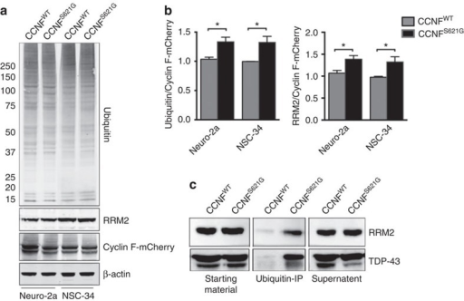 Increased ubiquitinated proteins in neuronal cell lines expressing mutant cyclin F.NSC-34 and Neuro-2a cells were transfected with wild-type or mutant cyclin F (p.S621G) expression constructs, and cells were collected after 24 h. (a,b) Cells transfected with mutant cyclin F (p.S621G) show increased levels (normalized to transfected cyclin F-mCherry) of ubiquitinated proteins and a known cyclin F–SCF complex target, RRM2 (Neuro-2a: Ubiq/cyclin F, P=0.025; RRM2/cyclin F, P=0.020. NSC-34: Ubiq/cyclin F, P=0.032; RRM2/cyclin F, P=0.023; two-tailed unpaired Student's t-test). (c) Immunoprecipitation (IP) of ubiquitinated proteins from transfected Neuro-2a cells (wild-type and mutant cyclin F (p.S621G)) show elevated levels of ubiquitinated RRM2 and TDP-43 in neuronal cells expressing mutant cyclin F. Full-length blots are presented in Supplementary Fig. 4. Data are represented as mean±s.e.m. n=3; *P<0.05.