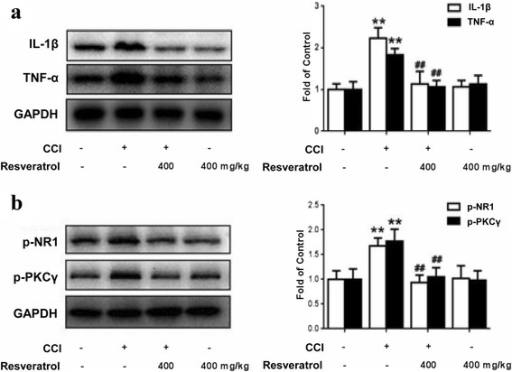 Resveratrol reduces CCI-induced production of pro-inflammatory factors and phosphorylation of NR1 and PKCγ in the STN. a Resveratrol reduces the production of pro-inflammatory factors IL-1β and TNF-α. b Resveratrol inhibits the phosphorylation of NR1 and PKCγ. Representative western blot bands and a data summary (n = 4 each group) are shown. *P < 0.05 and **P < 0.01 versus control; and #P < 0.05 and ##P < 0.01 versus the CCI group