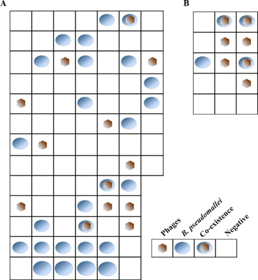 Distributions of B. pseudomallei and their phages in soil samples.The 86 (A) and 15 (B) soil samplings were collected from Roi-Et province in northeastern Thailand during rainy season. Each square represents a 2.5 m x 2.5 m area of the field, in which soil sample was taken at a depth of 30 cm. The presence of B. pseudomallei and phages was assessed in each sample and the results are shown in this Figure.