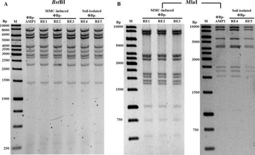 Restriction enzyme analyses of B. pseudomallei phages.Genomic DNA extracted from soil isolated (ΦBp-RE4-5) and MMC-induced (ΦBp-RE1-3) B. pseudomallei phages were digested with restriction enzyme BstBI (A) or MluI (B) and analyzed using agarose gel electrophoresis. Different DNA patterns were observed when digested with the MluI restriction enzyme. A 1-kb DNA ladder was included as a DNA marker.