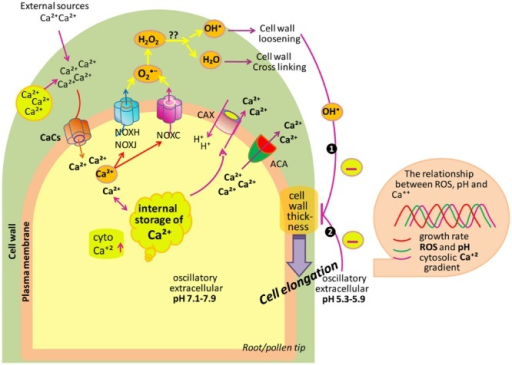 Model depicting the role of ROS, Ca2+ and pH in tip growth of root/pollen cells. Cell uptakes Ca2+ from its surrounding. To maintain the low levels of cytCa2+, ACAs transport Ca2+ back to the apoplast. Besides this, the H+/Ca2+ antiporter translocates Ca2+ back to the apoplast and, at the same time, imports H+ into the cytoplasm. The cytCa2+ activates NOXC and NOXH/NOXJ to produce apoROS in root hairs and pollen tubes, respectively. NOX produces apoplastic , which is dismutated by SOD to H2O2. Also, apoH2O2 and O2 generate •OH (in the hydroxylic cycle) which catalyzes the nonenzymatic cleavage of polysaccharides, thereby allowing tip growth. Box on right side showing that extracellular ROS, pH as well as cytCa2+ are coupled to growth oscillations. (Modified after Monshausen et al., 2009; Mangano et al., 2016).