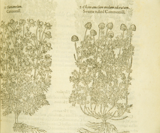 <p>Separate woodcuts of two varieties of chamomile, showing the flowers, leaves, stalks, and roots.</p>