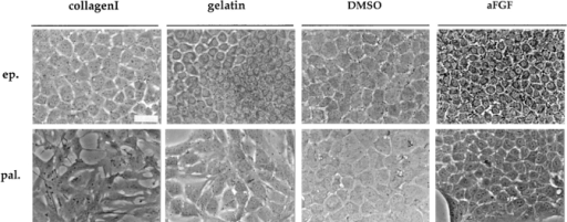 Morphological  changes of epithelial (ep.)  and palmate (pal.) clones  after environmental modifications. Phase-contrast micrographs of epithelial and  palmate clones in the standard growth conditions (on  collagen I); grown on gelatin-coated dishes; treated with  DMSO or aFGF. Photographs were taken 7–10 d after initiation of the different  treatments. Bar, 40 μm.
