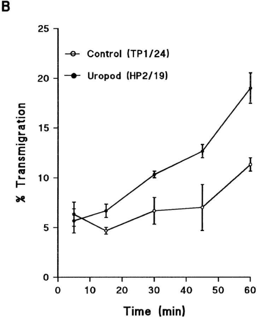 Effect of uropod induction on transendothelial migration of T lymphocytes. (A and B) Uropod induction increases transendothelial migration.  Migration of T lymphoblasts across confluent monolayers from a human dermal microvascular endothelial cell line (HMEC-1) was assayed in a Transwell  cell culture chamber. T lymphoblasts were allowed to bind to confluent EC  monolayers cultured on polycarbonate membranes and treated either with the  uropod-inducing mAb HP2/19 or with the noninducing anti–ICAM-3 mAb  TP1/24. A second cohort of 106 51Cr-labeled T cells was then added to the upper compartment of the chamber and incubated for long (A, from 45 min to 6 h)  and short (B, from 5 to 60 min) periods of time at 37°C in a 5% CO2 atmosphere. The percentage of cells that migrated to the lower well of the chamber  was calculated using a γ counter. A representative experiment out of five independent ones run in quadruplicate is shown. Error bars represent ± 1 SD of  values from quadruplicate Transwell chambers. (C) The increment in migration was dependent on the number of cells in the first layer of lymphocytes. In  similar experiments of transendothelial migration, different numbers of T lymphoblasts were incubated with the confluent EC monolayers, and migration of  a second cohort of 51Cr-labeled T cells was analyzed. Transmigration is presented as the ratio between percentage of migrated cells under uropod conditions and percentage of migrated cells under nonuropod conditions. Arithmethic mean ± 1 SD of three independent  experiments is shown.