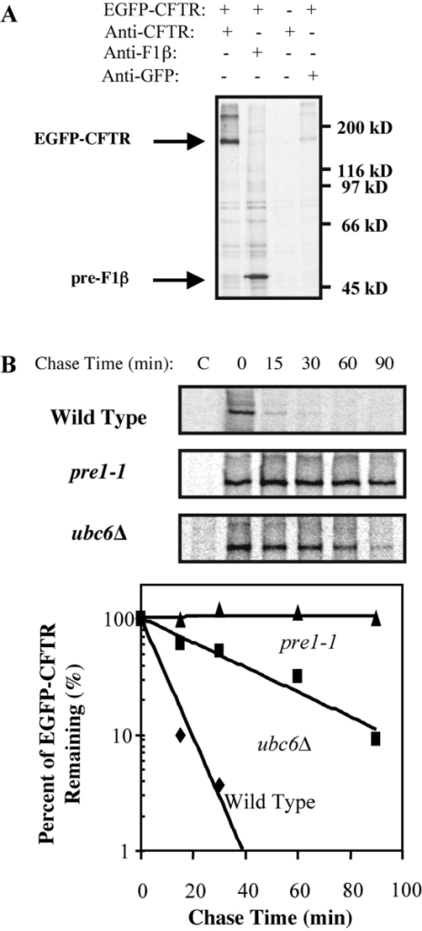 EGFP-CFTR represents yeast ERAD substrate. (A) Yeast transformed with pCU426CUP1 (EGFP-CFTR, − lane) or pCU426CUP1/EGFP-CFTR (EGFP-CFTR, + lanes) were induced, labeled with [35S]methionine for 20 min, and lysed. Lysates were immunoprecipitated with anti-CFTR, anti-F1β, or anti-GFP pAbs. A band of 175 kD, appropriate for a chimera of EGFP and CFTR, can be immunoprecipitated with anti-CFTR and anti-GFP antibodies from cells expressing EGFP-CFTR. (B) Wild-type, pre1–1, and ubc6Δ yeast were transformed with pCU426CUP1/EGFP-CFTR, induced, and pulse-labeled with [35S]methionine for 20 min. An equal amount of culture was taken at each chase time, lysed, and the lysates were immunoprecipitated with anti-CFTR antibody. Relative intensities of EGFP-CFTR bands were quantitated. EGFP-CFTR is stabilized in pre1–1 and ubc6Δ strains.