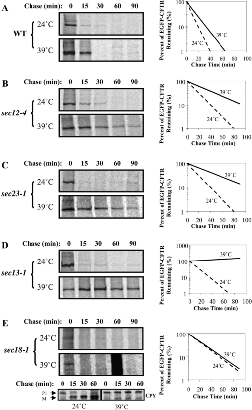 EGFP-CFTR degradation depends on functional Sar1p/COPII machinery. Wild-type (A), sec12–4ts (B), sec23–1ts (C), sec13–1ts (D), and sec18–1ts (E) yeast were transformed with pCU426CUP1/EGFP-CFTR. Yeast were grown to log phase and induced at permissive temperature. An equal amount of culture was then pulse-labeled with [35S]methionine for 20 min at either 24°C or 39°C. An equal amount of culture was taken after indicated chase times and used to prepare cell lysates. Lysates were immunoprecipitated with anti-CFTR or anti-CPY (for sec18–1ts) antibody. Relative intensities of EGFP-CFTR bands were quantitated. EGFP-CFTR degradation is significantly inhibited by inactivation of Sec12p, Sec23p, and Sec13p.