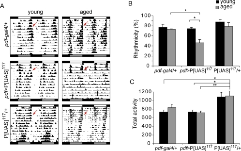 A novel P[UAS] insertion line shows progressive behavioral defects.Crossing P[UAS]117 to the pdf-gal4 driver results in a significant decrease in the rhythmicity of old flies. (A) Representative double plotted actograms for young (3d) and aged (21d) flies of pdf-gal4/ P[UAS]117 along with the corresponding controls. (B) The percentage of rhythmic flies for each strain is shown. Older pdf-gal4/ P[UAS]117 flies are significantly different from their younger counterparts and from the aged controls (* p<0.05). Experiments were repeated at least three times. Additional details are included in Table S2. (C) No progressive decrease in daily activity was observed in either line. Although no differences were found between pdf-gal4/ P[UAS]117 and pdf-gal4/+ individuals, young and aged heterozygous P[UAS]117 flies were overall more active (* p<0.05; ** p<0.01).