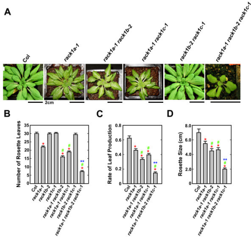 rack1b-2 and rack1c-1 mutations enhance the rosette leaf phenotype of rack1a mutants. (A) The phenotype of rack1 mutants. Shown are plants grown for 48 days under 10/14 h photoperiod. Scale bars, 2 cm. (B) The number of rosette leaves of rack1 mutants. (C) The rate of rosette leaf production of rack1 mutants. The rate of rosette leaf production is expressed as the number of rosette leaves divided by the age of plants. (D) The size of rosette of rack1 mutants. The number of rosette leaves, the rate of rosette leaf production and the size of rosette were measured from plants grown for 48 d under 10/14 h photoperiod. Shown in (B) to (D) are the averages of at least four plants ± S.E. The same experiment was repeated twice with similar trends and the data from one experiment were presented. *, significant difference from Col, P < 0.05. #, significant difference from rack1a single mutant, P < 0,05. **, significant difference from rack1a-1 rack1b-2 double mutant, P < 0.05.