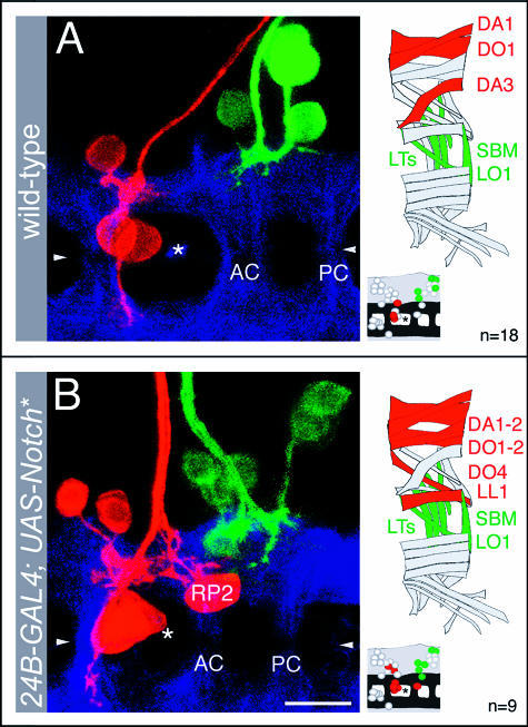 The Myotopic Map Forms Independently of Target MusclesISN motor neurons (red) with internal and SN motor neurons (green) with external muscle targets in a 15-h-old wild-type (A) and in an embryo, in which muscle formation had been suppressed by targeted expression of an activated form (intracellular domain) of Notch (24B-GAL4; UAS-Notch*) (B). In such muscleless embryos, the main nerve trunks (ISN and SN) still form and project into the periphery along distinctive paths. Thus, motor neurons whose axons project through these nerves can be retrogradely labelled. The neuropile, visualised with anti-HRP, is shown in blue. ISN and SN motor neuron dendritic domains show a normal separation despite absence of target muscles. Note that the ISN (red) and SN (green) dendritic arbors in (B) appear to be in closer proximity than those shown in (A). This is because in (B) the RP2 neuron (indicated) is labelled, which is the most posterior of the ISN motor neurons and therefore closest to the SN dendritic domain. See also Figure 2G, where RP2 and its dendrites are shown relative to the most posterior of the SN motor neuron (SBM) dendritic fields.Anterior is left and dorsal is up. Symbols and abbreviations: triangles, ventral midline; AC, anterior commissure; PC, posterior commissure; asterisks, dorsoventral channels (landmarks for the segment borders). Scale bar (not applicable to diagrams of CNS and muscle field): 10 μm.