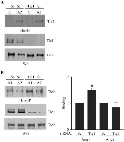 Suppression of Tie1 expression differentially affects binding of Ang1 and Ang2 to Tie2 in endothelial cells. (A) Endothelial cells were transfected with siRNA directed against Tie1 or control randomised siRNA (Sc) and cultured for 24 h before addition of control vehicle (C) or 200 ng/ml Ang2 (A2) for 30 min as indicated followed by cross-linking with the cell-impermeable cross-linker DTSSP. 20 mM Tris was added to quench cross-linking before washing and cell lysis. Ang2 was immunoprecipitated and immunoprecipitates or whole cell lysates (Wcl) were resolved by SDS/PAGE. Tie2 bound to Ang2 and Tie1 and Tie2 in whole cell lysates were detected by immunoblotting as indicated. (B) Endothelial cells were transfected with siRNA directed against Tie1 or control randomised siRNA (Sc) and cultured for 24 h before addition of 200 ng/ml Ang1 (A1) or Ang2 (A2) for 30 min as indicated. Cross-linking, quenching and immunoprecipitation were performed as above and Tie2 bound to Ang1 and Ang2 and Tie1 and Tie2 in whole cell lysates were detected by immunoblotting as indicated. The effect of suppression of Tie1 expression by siRNA on Ang1 and Ang2 binding to Tie2 on cells was determined in three independent experiments by immunoblotting and densitometric quantification of blots. Data are presented as means and SEM. ⁎ indicates Ang1 binding to Tie2 was significantly increased by loss of Tie1 (p < 0.05, Student's t test).