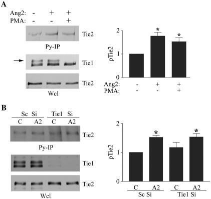 Tie1 does not affect the agonist activity of Ang2. (A) Endothelial cells were treated with control vehicle or 10 ng/ml PMA before addition of 200 ng/ml Ang2 for 30 min as indicated. Cells were lysed and immunoprecipitated with anti-phosphotyrosine antibodies (Py-IP). Tie2 in immunoprecipitates and Tie2 and Tie1 in whole cell lysates (Wcl) were detected by immunoblotting following SDS/PAGE. Tie1 ectodomain cleavage is indicated by loss of the higher molecular mass Tie1 immunoreactive band corresponding to surface expressed Tie1 (arrow). The effect of PMA on Ang2-induced Tie2 phosphorylation was determined in three independent experiments by immunoblotting and densitometric quantification of blots. Data are presented as means and SEM. ⁎ indicates Ang2 significantly increased Tie2 phosphorylation (p < 0.05, Student's t test). (B) Endothelial cells were transfected with siRNA directed against Tie1 or control randomised siRNA (Sc) and cultured for 24 h before addition of 200 ng/ml Ang2 for 30 min. Cells were lysed and immunoprecipitated with anti-phosphotyrosine antibodies (Py-IP). Tie2 detected in immunoprecipitates and Tie2 and Tie1 in whole cell lysates (Wcl) were detected by immunoblotting following SDS/PAGE. The effect of control and Tie1 siRNA on the ability of Ang2 to stimulate Tie2 phosphorylation was determined in three independent experiments by immunoblotting and densitometric quantification of blots. Data are presented as means and SEM. ⁎ indicates Ang2 significantly increased Tie2 phosphorylation compared with control Sc Si transfected cells (p < 0.05, Student's t test), however loss of Tie1 did not enhance Ang2-activation of Tie2.