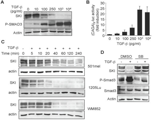 Another High SKI expression in melanoma cells does not prevent efficient transcriptional responses to TGF-β. A. 1205Lu melanoma cells were incubated for 60 min. with increasing concentrations of TGF-β. Cell extracts were then prepared and subjected to Western analysis for SKI and P-SMAD3 content. B. 1205Lu melanoma cells were transfected in triplicate dishes with (CAGA)9-MLP-luc and pRL-TK. Four hours later, TGF-β was added at the indicated concentrations and reporter activity was measured 16 h later. Results are mean+/- SD from one representative experiment. C. Three distinct human melanoma cell lines (501mel, 1205Lu and WM852) were incubated with TGF-β (10 ng/ml) for various time periods. Cell extracts were prepared and subjected to Western analysis to determine SKI content. Actin was used as an internal control. D. 1205Lu cells were incubated for 1 h in the absence (DMSO) or presence (SB) of the TβRI inhibitor SB431542 (5 μM) prior to addition of TGF-β (10 ng/ml). Protein extracts were prepared 60 min later and subjected to Western analysis for SKI content.