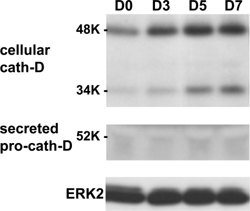 Cath-D expression increases during 3T3-L1 adipogenesis.Protein expression of cath-D was analysed by immunoblotting in 3T3-L1 adipocytes grown to confluence (D0), and after the differentiation process had been induced for the indicated days. The pro-cath-D secreted over 48h was monitored during differentiation. ERK2 was used as loading control.