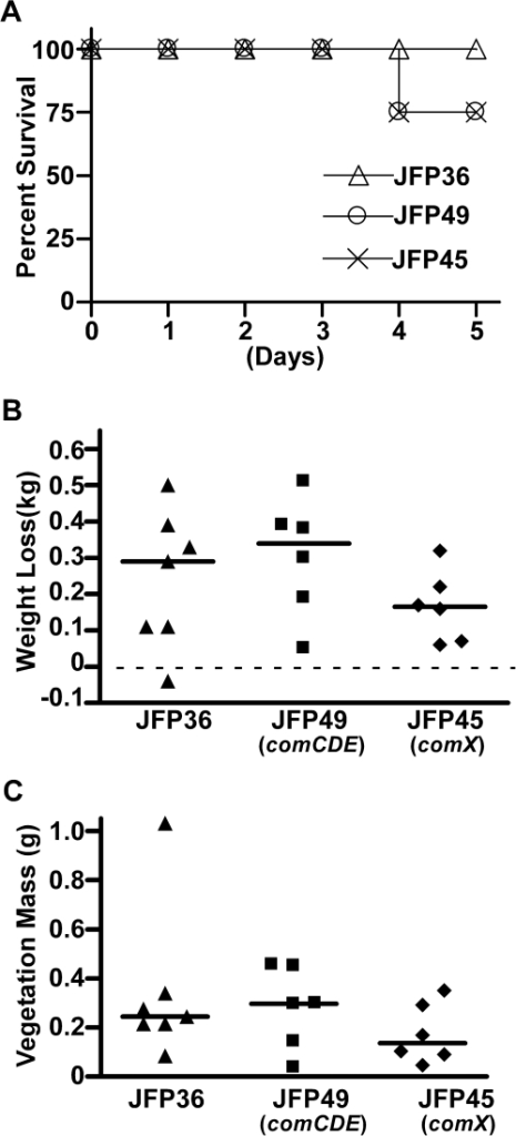Assessment of IE pathology in rabbits inoculated with JFP36 or com mutants.Rabbits were inoculated with 108 CFU of JFP36, JFP49 (comCDE), or JFP45 (comX). Data were combined from two separate experiments, each of which included all three strains. (A) Survival curve. (B) Total weight loss 5 days post-infection. Horizontal dashed line represents no weight loss. (C) Mass of aortic valve vegetations 5 days post-infection. For B and C, each symbol represents the value from a single rabbit, and horizontal lines indicated median values. No significant differences among strains were observed in any of the analyses.