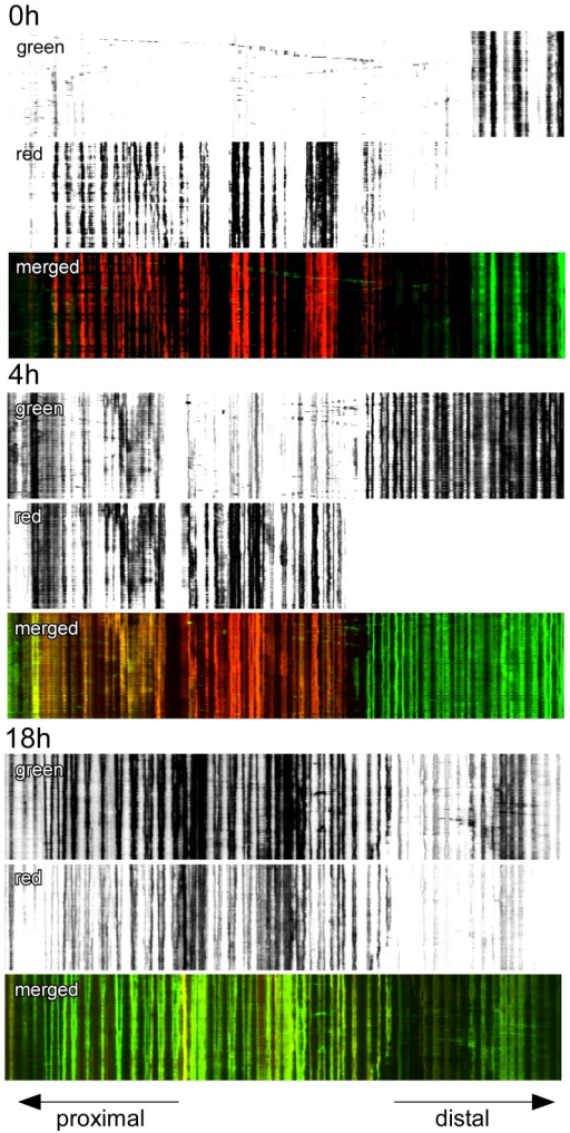 Inhibition of neuronal activity with TTX does not affect mitochondrial fusion in neurites.Kymographs show that fusion of mitochondria was unaffected by continuously blocking neuronal activity with TTX (1 µM final concentration). Time lapse images were taken every 10 seconds for 30 minutes at 0 h, 4 h, and 18 h following the marking of a subpopulation of mitochondria within a living neurite (27 div).
