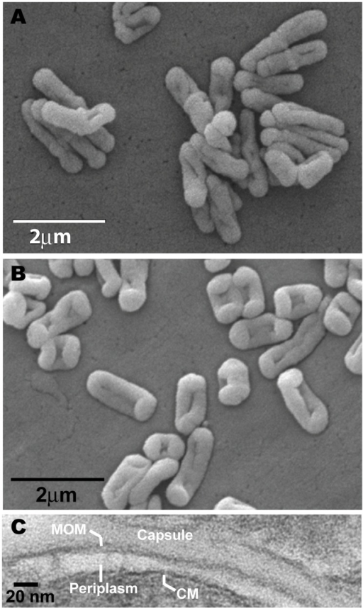 Electron micrographs.Scanning electron micrographs of S. rotundus (A) and S. rugosus (B). (C) Transmission electron micrograph of S. rugosus. The bands are labeled as indicated. MOM stands for mycolate outer membrane and CM stands for cytoplasmic membrane.