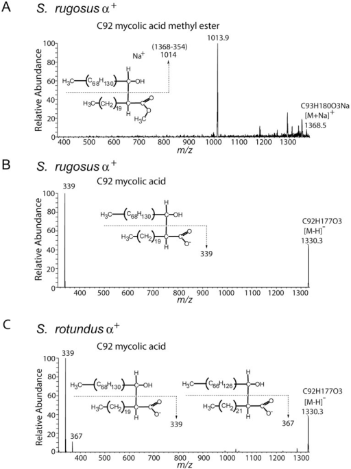 Collision induced dissociation mass spectrometry demonstrates alpha branch chain length.(A) Purified S. rugosus MAMEs found in the high migrating fraction on the TLC plate were dissolved in chloroform and methanol solution, loaded into a nanospray tip and analyzed by positive-ion mode electrospray ionization mass spectrometry with ion trapping. The ion at m/z 1368.5 [M+Na]+ corresponding to C92 mycolic acid methyl ester was subjected to CID-MS, yielding a fragment ion corresponding to a sodium adduct of the meroaldehyde chain (m/z 1013.9) which indicates a neutral loss of the α-chain-derived C22∶0 methyl ester. (B–C) Bacterial pellets of S. rugosus and S. rotundus were extracted with chloroform, diluted with methanol and analyzed by negative-ion mode electrospray ionization mass spectrometry. Both samples contain an ion at m/z 1330.3 ([M-H]−) corresponding to C92 mycolic acid, which was subjected to CID-MS analysis. The product ion 339 from S. rugosus (B) and ions 339 and 367 from S. rotundus (C) indicate the presence of C22∶0 and C24∶0 α-branch-derived fatty acids.