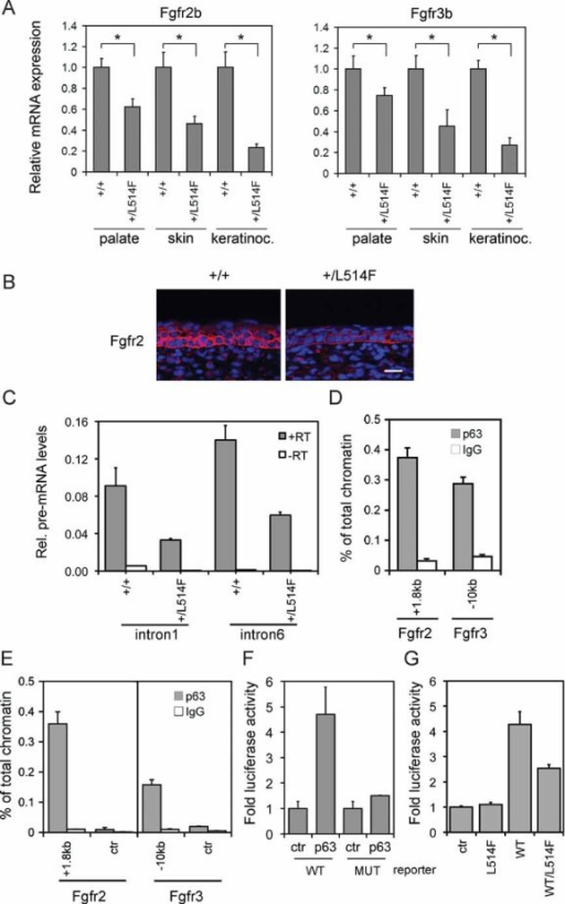 Fgfr2 and Fgfr3 are direct p63 target genesReal-time RT-PCR performed on total mRNA isolated from palatal shelves at E13.5, embryonic skin at E14.5, and from neonatal keratinocytes, reveals reduced expression of Fgfr2b in p63+/L514F tissues compared to +/+ controls. Data are normalized for β-actin mRNA levels and are represented as mean ± SD normalized mRNA levels (palate p-value = 0.0015; n = 9, skin p-value = 0.00044; n = 8; keratinocytes p-value = 0.0098; n = 7) and Fgfr3b (palate p-value = 0.0112; n = 8; skin p-value = 0.0092; n = 8; keratinocytes p-value = 0.0002; n = 6).Immunostaining for Fgfr2 (red) reveals its reduced expression in mutant embryonic skin at E15.5 compared to control. Nuclei are stained in blue. Scale bar: 20 µm.Real-time RT-PCR for Fgfr2 pre-mRNA reveals reduced expression of the primary transcript in p63+/L514F keratinocytes compared to +/+ controls. Data are represented as mean ± SD (p-value = 0.023; n = 3). To control for genomic DNA contamination, reverse transcriptase (RT) was not added in the indicated samples.ChIP assay of mouse keratinocyte chromatin using mouse p63 polyclonal antibodies and rabbit IgG as negative control reveals strong p63 binding to Fgfr2 (+1.8 kb from TSS) and Fgfr3 (−10 kb from TSS) regulatory regions. The result is representative of three independent experiments, and error bars represent standard error (SE).ChIP assay of E14.5 skin chromatin reveals a similar p63 binding to Fgfr2 and Fgfr3 regulatory regions. The control regions (ctr) were at −130 bp from TSS and −8.5 kb from TSS in Fgfr2 and Fgfr3, respectively. Data are represented as mean ± SE and are representative of at least three independent experiments.Luciferase assay of the Fgfr2 regulatory region in H1299 reveals that p63 can enhance the wild-type (WT) region activity but not the mutant (MUT) one in cells devoid of p63. See Supporting Information Table S3 for the p63 binding site mutation.Luciferase assay in H1299 reveals that mutant p63L514F is unable to transactivate the Fgfr2 regulatory region and interferes with wild-type p63 affecting its transactivation ability. Data are represented as mean ± SE and are representative of at least three independent experiments.