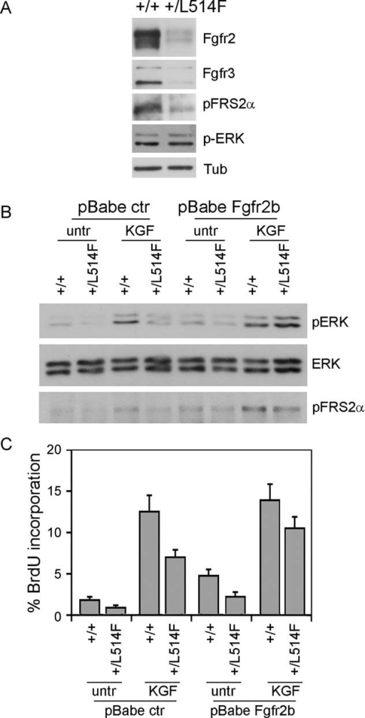 Rescue of FGF signalling by exogenous Fgfr2b expression in mutant epidermal cellsImmunoblotting analysis for Fgfr2, Fgfr3 and the phosphorylated active form of the downstream signalling proteins FRS2α (p-FRS2α) and ERK (p-ERK) reveals downregulation of the FGF receptor and downstream signalling in p63+/L514F keratinocytes compared to controls. Tubulin was used to normalize samples for protein content.Immunoblotting analysis for ERK phosphorylation reveals reduced ERK activation in p63+/L514F starved keratinocytes compared to controls upon KGF treatment. Exogenous expression of Fgfr2b and concomitant treatment with KGF can restore ERK phosphorylation. Total ERK protein levels were used as control. pFRS2α was used as control of FGFR activation.BrdU incorporation of starved keratinocytes treated as in (B) reveals that p63+/L514F cells have a defective cell proliferation in the absence of exogenous growth factors. Rescue is obtained by exogenous expression of Fgfr2b and concomitant treatment with KGF (25% difference between mock-infected untreated samples and KGF treated/Fgfr2b expressing cells; p-value = 0.005, n = 6 of three independent experiment). Data are represented as mean ± SD.