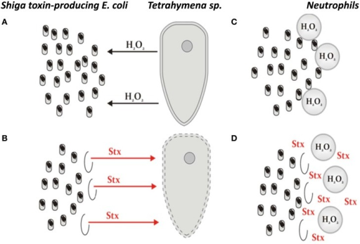 The model of STEC altruism, representing the hypothesis on the benefit which E. coli lysogenic with Shiga toxin-converting phages may gain from production of Shiga toxins coupled with prophage induction and subsequent cell death. (A) A protozoan predator (exemplified by Tetrahymena) releases hydrogen peroxide to damage bacterial cells. (B) In the case of STEC, hydrogen peroxide causes induction of Shiga toxin-converting prophage in a small fraction of bacterial cells, which is, nevertheless, sufficient to produce Shiga toxins (Stx) in amounts enough to kill the predator. (C) Neutrophils employ a strategy similar to that used by protozoan predators if human intestine is infected with bacteria recognized as aliens. (D) The response of STEC to neutrophils' attack is analogous to that employed by this bacterium to faith against unicellular eukaryotic predators. The original hypothesis was presented in two articles (Łoś et al., 2011; Mauro and Koudelka, 2011).