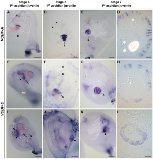WISH of VCBP-A and -C at stages 4, 5 and 7 of 1st ascidian juvenile.VCBP-A is localized in the stomach structure in all the stages examined (A–C). In particular, semi-thin sections (D) of WISH samples at the stage 7 indicate that VCBP-A is expressed in scattered cells of the stomach epithelium. VCBP-C is localized in part of the developing intestine and in a ring-shaped structure at the junction between the stomach and the intestine (E and I) at stage 4, whereas at stage 5 and 7, it is expressed in both the stomach (F and G) and in the intestine (J and K). Semi-thin sections of WISH samples confirm that at stage 7 VCBP-C is confined to groups of cells localized in the ridges of the stomach (H) and distributed evenly in the intestine (L). s, stomach; arrow, ring-shaped structure; arrowhead, intestine. (Scale bars: A, B, E, F, I and J, 50 µm; C, G and K, 100 µm; D, H and L, 15 µm).
