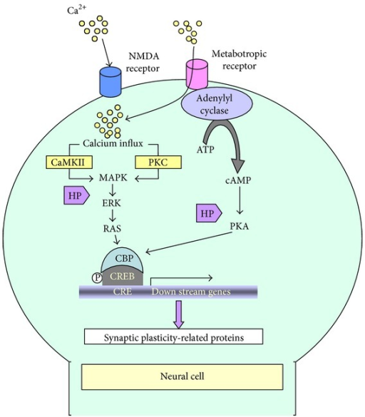 Putative nootropic mechanisms of honey and its polyphenols. Calcium influx via the N-methyl-D-aspartate receptor (NMDAR) occurs during the initial phase of NMDAR-dependent LTP. The inductive phase follows CREB phosphorylation through MAPK/ERKs signaling, which ultimately leads to the transcriptional regulation of synaptic plasticity-related proteins. Metabotropic receptors include ligand-gated ion channels that promote calcium influx (AMPA receptor) and enzyme-coupled receptors (such as cholinergic, glutamate, and dopamine receptors) that can trigger a second messenger (cAMP/cGMP) to activate downstream effector enzymes. The effector enzymes finally modulate the activation of CREB [123–128]. Honey polyphenols (HP: luteolin, myricetin, catechin) modulate synaptic plasticity through the activation of CREB by MAPK/ERKs and/or PKA-involved cellular signaling.