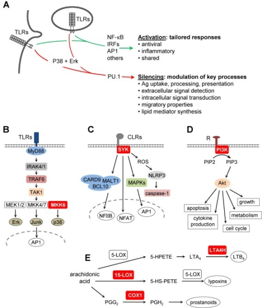 Functional relevance of rapid transcriptional silencing in activated DCs. (A) Schematic summary of signal-transduction pathways and functional consequences triggered by TLR-engagement in DCs: our results define a novel primary silencing pathway that is distinct from known gene induction mechanisms and modulates key processes during DC maturation. The silencing mechanism affects the expression of pivotal proteins (red boxes) implicated in: (B) TLR signaling (MKK6), (C) CLR signaling (SYK), (D) PI3K-Akt signaling (PI3K) and (E) icosanoid biosynthesis (LTA4H, 15-LOX, COX1).