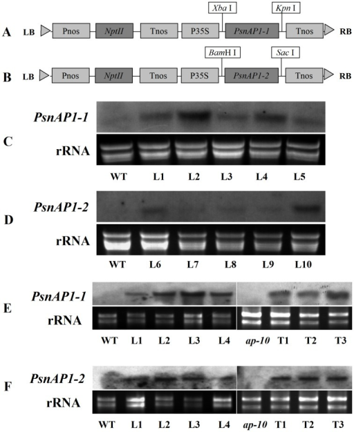 Northern blot analysis of PsnAP1-1 and PsnAP1-2 expression in transgenic plants.(A, B) Schematic of the T-DNA region of the binary vector pROKII-PsnAP1-1 and pROKII-PsnAP1-2. LB left border, Pnos nopalina synthase promoter, NptII, kanamycin resistance gene, Tnos nopalina synthase terminator, P35S CaMV 35S promoter, RB right border. (C) Northern blot analysis of 35S::PsnAP1-1 in transgenic tobacco. Leaves were sampled from wild-type and transgenic plants. WT wild-type, L1–5 five 35S::PsnAP1-1 lines. (D) Northern blot analysis of 35S::PsnAP1-2 in transgenic tobacco. Leaves were sampled from wild-type and transgenic plants. WT wild-type, L6–10 five 35S::PsnAP1-2 lines. (E) Northern blot analysis of 35S::PsnAP1-1 in transgenic Arabidopsis. Leaves were sampled from wild-type and transgenic plants. WT wild-type, L1–5 five 35S::PsnAP1-1 lines, ap1-10 ap1-10 mutant, T1–3 three 35S::PsnAP1-1 lines in ap1-10 mutants. (F) Northern blot analysis of 35S::PsnAP1-2 in transgenic Arabidopsis. Leaves were sampled from wild-type and transgenic plants. WT wild-type, L1–5 five 35S::PsnAP1-2 lines, ap1-10 ap1-10 mutant, T1–3 three 35S::PsnAP1-2 lines in ap1-10 mutants.