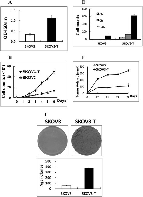 Acquired trastuzumab-resistant cell line SKOV3-T cells grow faster than SKOV3. SKOV3 cells were cultivated for 8 months in the presence of 20 μg/ml trastuzumab continuously to obtain SKOV3-T cells. The comparison of SKOV3-T and parental SKOV3 cells by (A) cell proliferation, (B) cell counting, (C) agar clone formation, (D) transwell, and (E)in vivo carcinogenic assays. In cell counting assays, cells were cultured in day 0 at the start concentration of 1 × 104 per 24-well, and in day 1 to day 6, the cells were digested everyday and the whole cell number was counted. The trastuzumab-resistant SKOV3-T seemed to have significantly enhanced cell growth/proliferation, clone formation, stronger invasion and migration character both in vitro and in vivo versus non-resistant SKOV3 cells.
