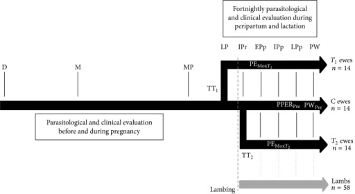 Experimental design to describe periparturient nematode egg rise (PPER) of ewes naturally infected with gastrointestinal nematodes and to measure the efficacy and persistency of peripartum strategic treatment with moxidectin (Mox) either at the onset of late pregnancy (TT1) or at the end of immediate peripartum (TT2) period under tropical Andes high altitude conditions. Parasitological and clinical evaluations included FEC by McMaster test, anemia detection by FAMACHA© system, diarrhea assessment by Dag scoring, body weight, and body condition assessment. Fecal egg count reduction (FECR) was employed to test posttreatment moxidectin efficacy 15 days after treatment (PEMoxT1 and PEMoxT2), the prevention of PPER at late postpartum (PPERPre) period, and preweaning persistency (PWPer⁡). Ewes in control group (C) and offspring of all ewes were untreated against gastrointestinal nematodes. D: dry ewes; M: mating; MP: midpregnancy; LP: late pregnancy; Ipr: immediate postpartum; Epp: early postpartum; Ipp: intermediate postpartum; LPp: late postpartum; and PW: preweaning.