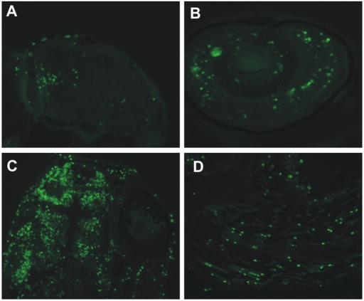 Knockdown of ca10a and ca10b genes leads to apoptosis in the morphant zebrafish.Results of the TUNEL assay detecting apoptotic cells in 5 dpf morphant embryos. A) head region of a ca10a morphant; B) eye region of a ca10a morphant; C) head region of a ca10b morphant; and D) tail regions of a ca10b morphant. (Original magnification 100X).